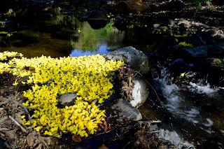 Yellow Flowers in Rio Viejo, Puriscal, Costa Rica
