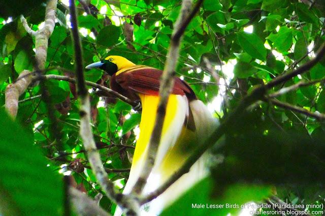 Cendrawasih kuning kecil (Lesser birds of paradise)