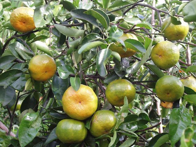 Quả Quýt (Quít) - Citrus deliciosa - Nguyên liệu làm thuốc Chữa Bệnh Tiêu Hóa