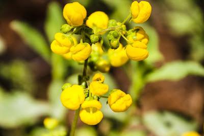 Calceolaria Meyeniana La Campana Flora