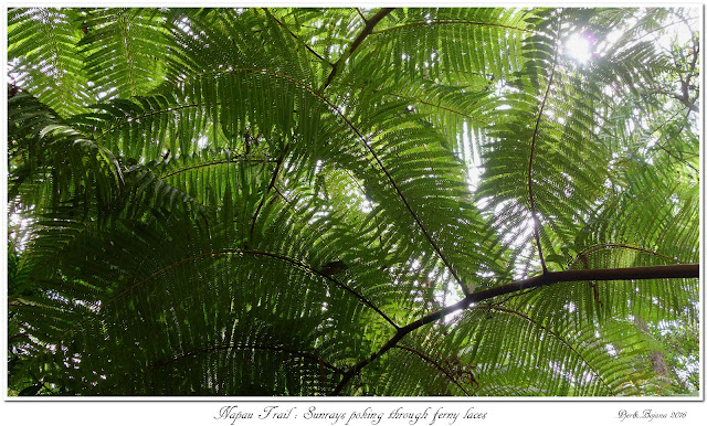 Napau Trail: Sunrays poking through ferny laces