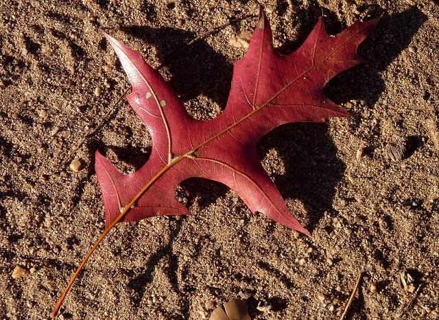 Hoja de ROBLE DE LOS PANTANOS Quercus palustris