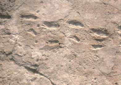 Ancient Digger Archaeology The Laetoli Footprints Explained
