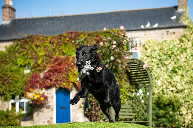 Black labrador jumping by Jamie Emerson, dog photographer Aberdeen