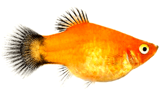 Jenis ikan Platy Gold Wagtail