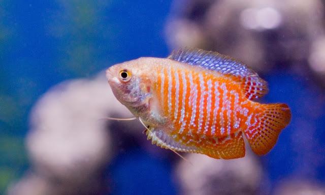 Dunia Ikan Hias - Gurami Mini