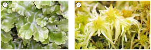 Gambar: (a) Marchantia (b) Sphagnum fimbriatun