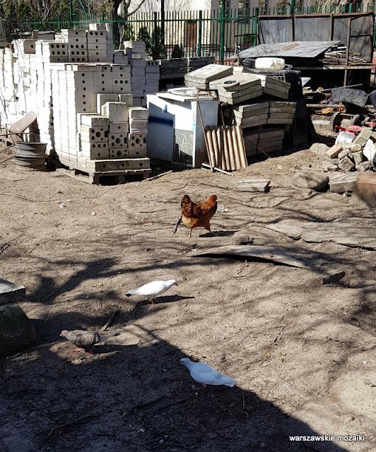 warszawa warsaw wola koło ulice Woli architektura podwórko kura