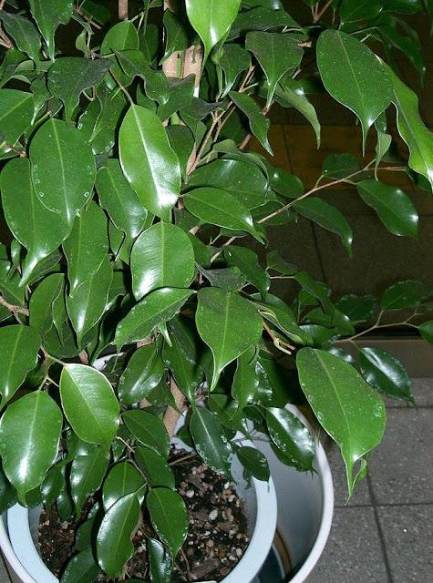 CÂY SI - Ficus benjamina - Nguyên liệu làm thuốc Chữa Ho Hen
