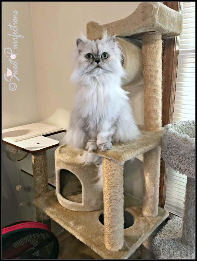 Truffle on cat tree