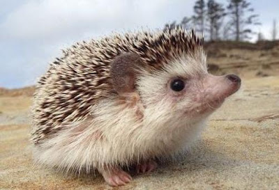 Hedgehog - Animals name begin with Letter H