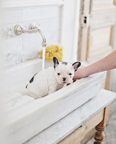 French bulldog getting bath in farm sink