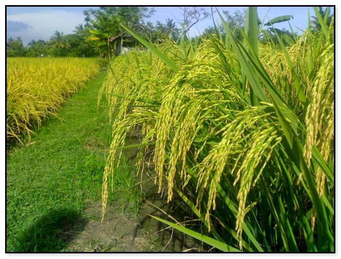 Peluang Bisnis Dan Usaha Pertanian Padi Beserta Analisanya Seputar