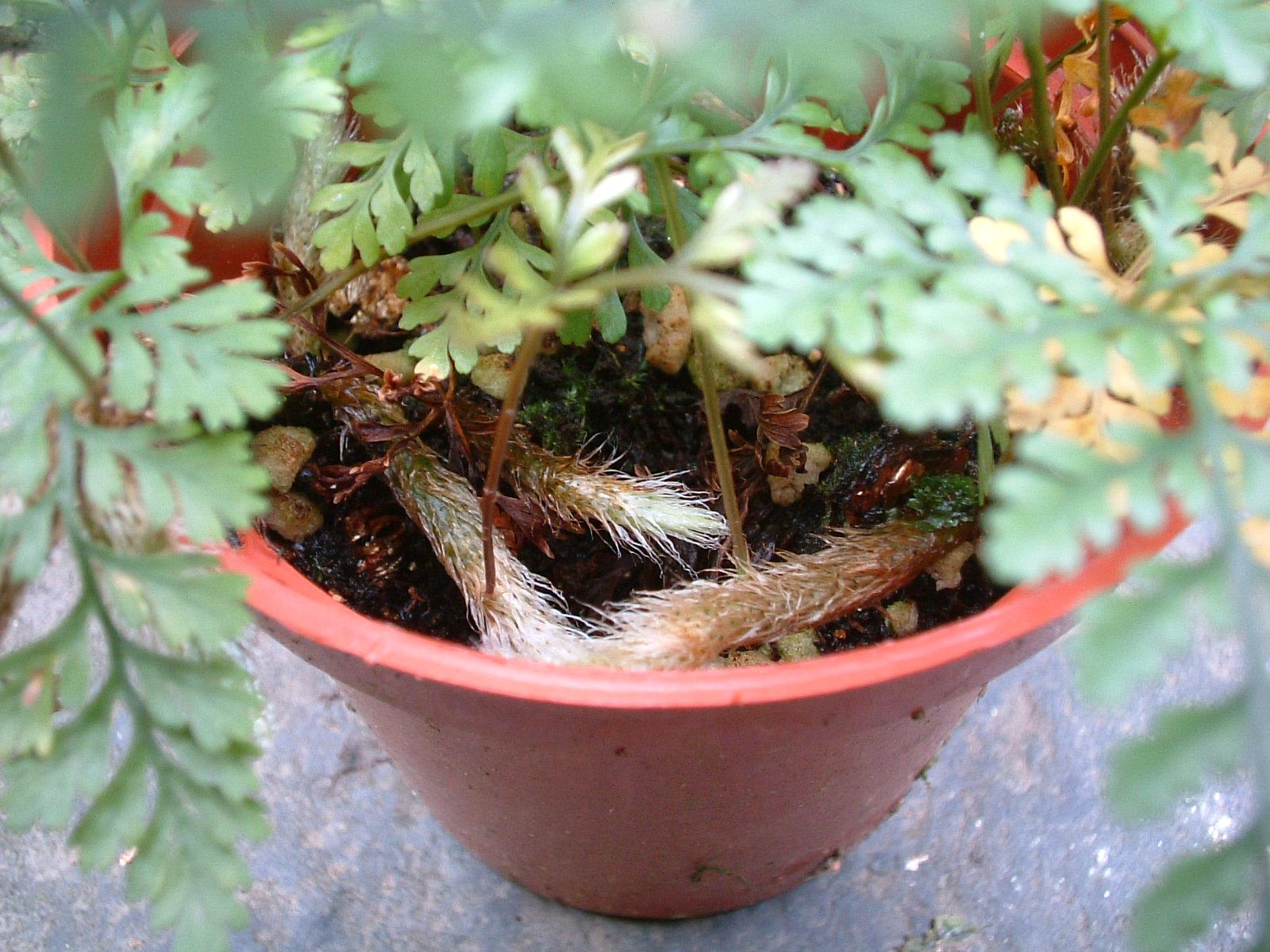 觀葉植物栽培術:綠手絨足-兔腳蕨 - 園藝部落格:iGarden 花寶愛花園園藝文摘Plus