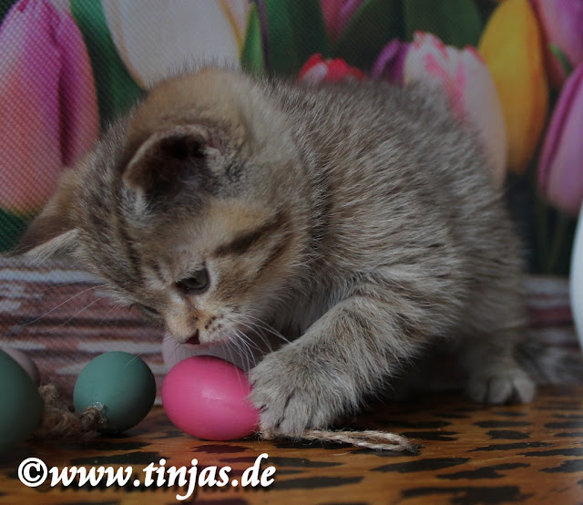 verspieltes Britisch Kurzhaar Katzenkind