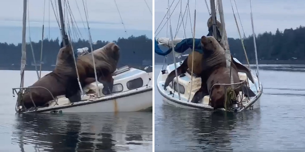 Two Massive Sea Lions 'Borrowed' Somebody's Boat