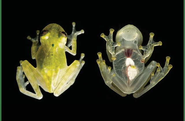 facts about glass frogs