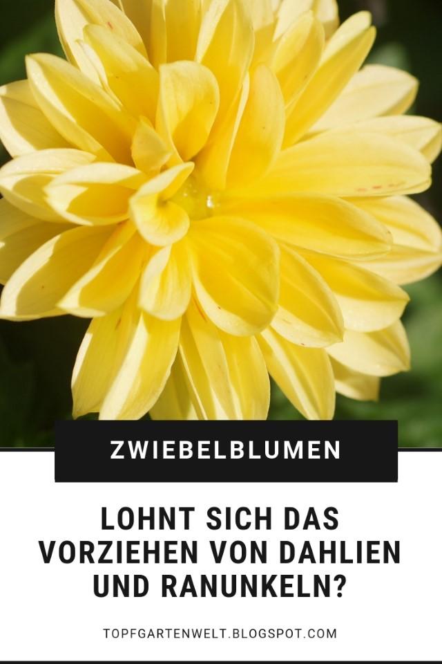Topfgarten anleitung dahlien ranunkeln und anemonen for Dahlien pflanzen anleitung