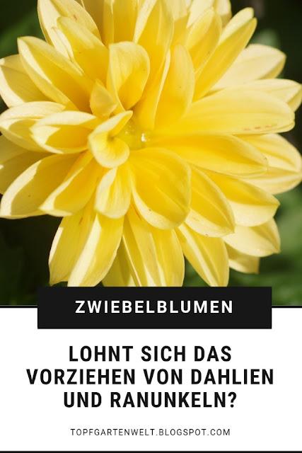 Dahlien, Ranunkeln und Anemonen lassen sich einfach vorziehen - ich zeige Dir wie. Doch lohnt sich der Aufwand um die Knollen im Frühling? #topfgarten #dahlien #zwiebelblumen