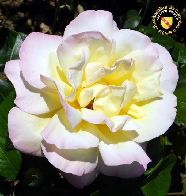 VILLERS-LES-NANCY (54) - La roseraie du Jardin botanique du Montet - Rose Jardin de Bagatelle