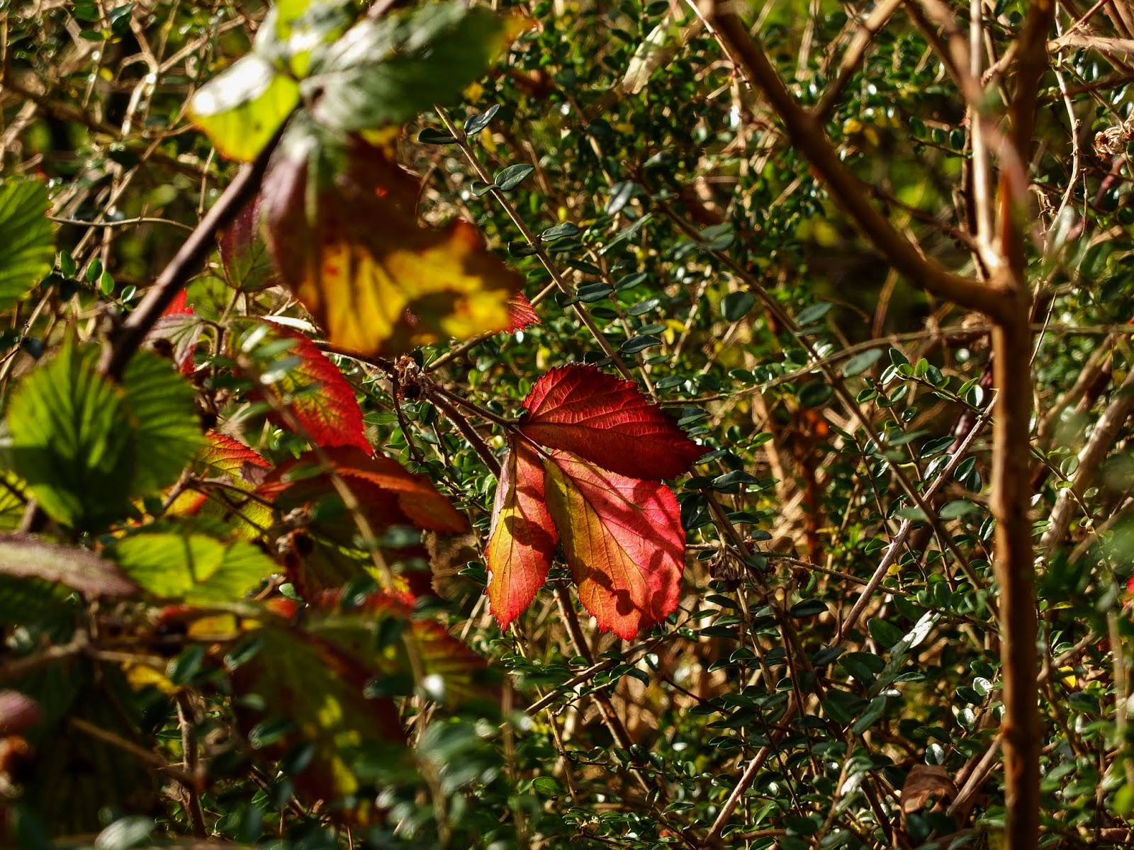 Read blackberry leaves in sunlight.