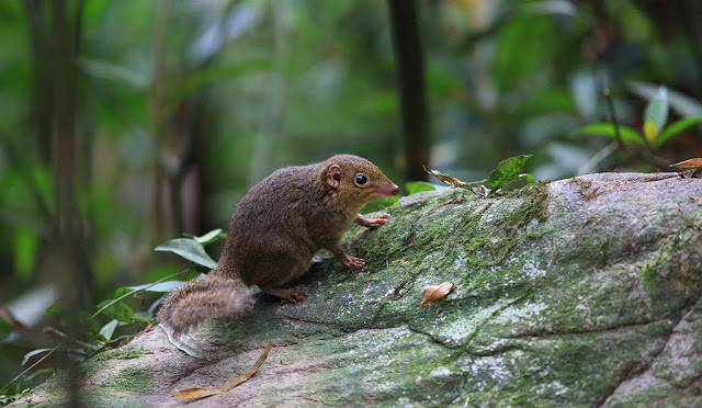 Study shows treeshrews break evolutionary 'rules'