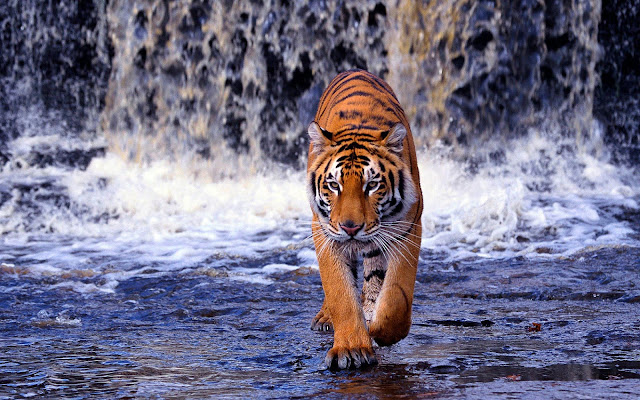 Foto van een tijger die door het water loopt