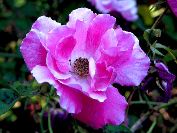 closeup of climbing rose