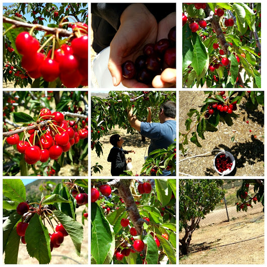 Cherry picking family field trip in Southern California.