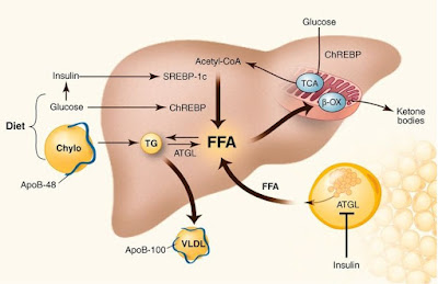 Regulation of Fat Synthesis and Adipogenesis