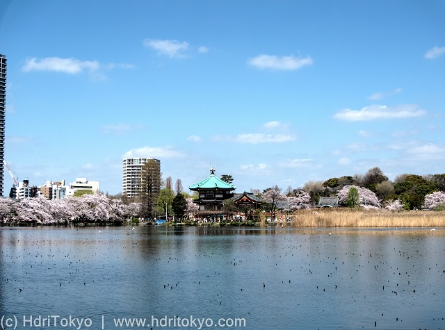 a large pond. cherry blossoms and a temple hall in the background.