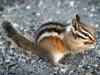 Chipmunk Animal Pictures