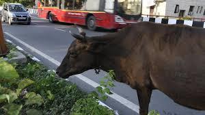 killing cow india