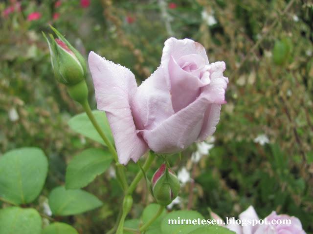 Лондон - Гайд-Парк, голубая роза