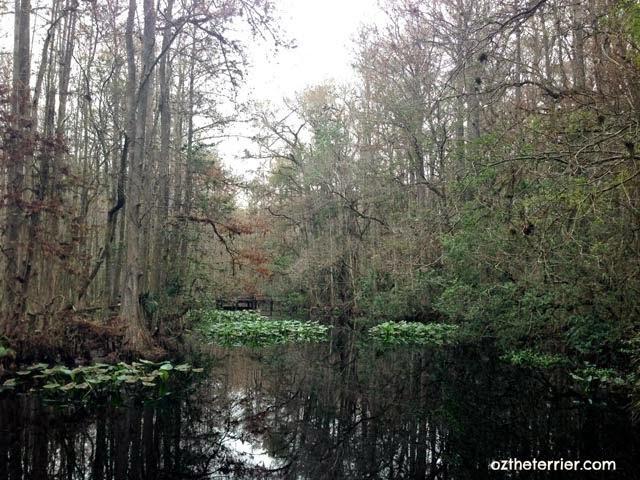 Cypress swamp at Highlands Hammock State Park