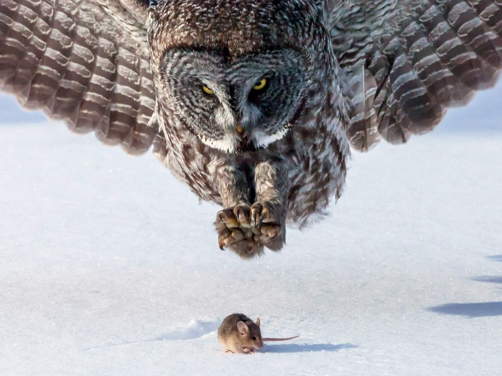 Owl and Mouse, Minnesota
