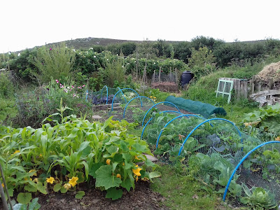 Sunday On The Allotment - August Harvest