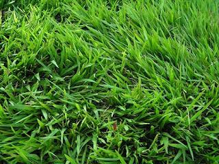 benih-rumput-jepang-murah.jpg