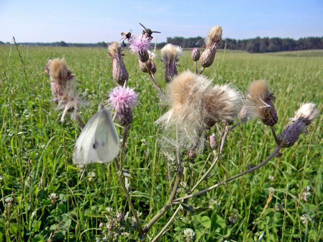 owady, łąka, bielinek, ostrożeń