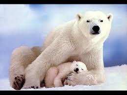 National Geographic Documentary - Polar Bears Lifes - Wildlife Animals