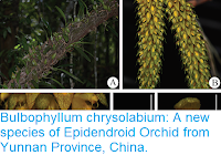 https://sciencythoughts.blogspot.com/2018/12/bulbophyllum-chrysolabium-new-species.html
