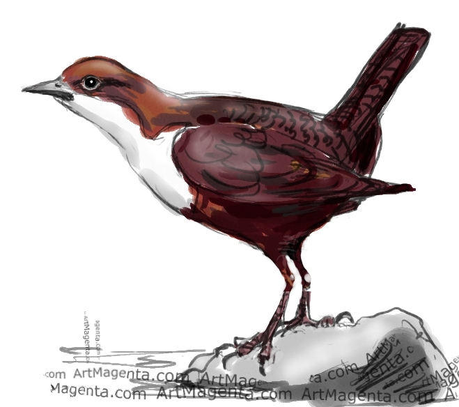 White-throated Dipper sketch painting. Bird art drawing by illustrator Artmagenta