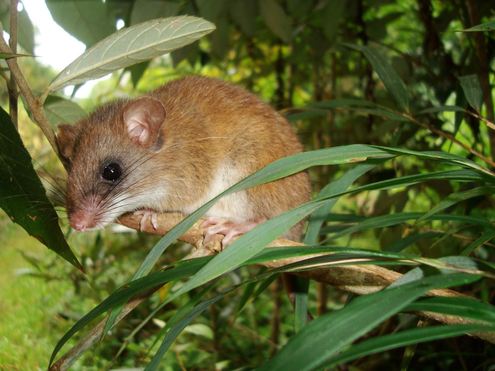 Mammals Animals: Drymoreomys albimaculatus