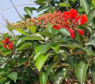 pohon dadap wong
