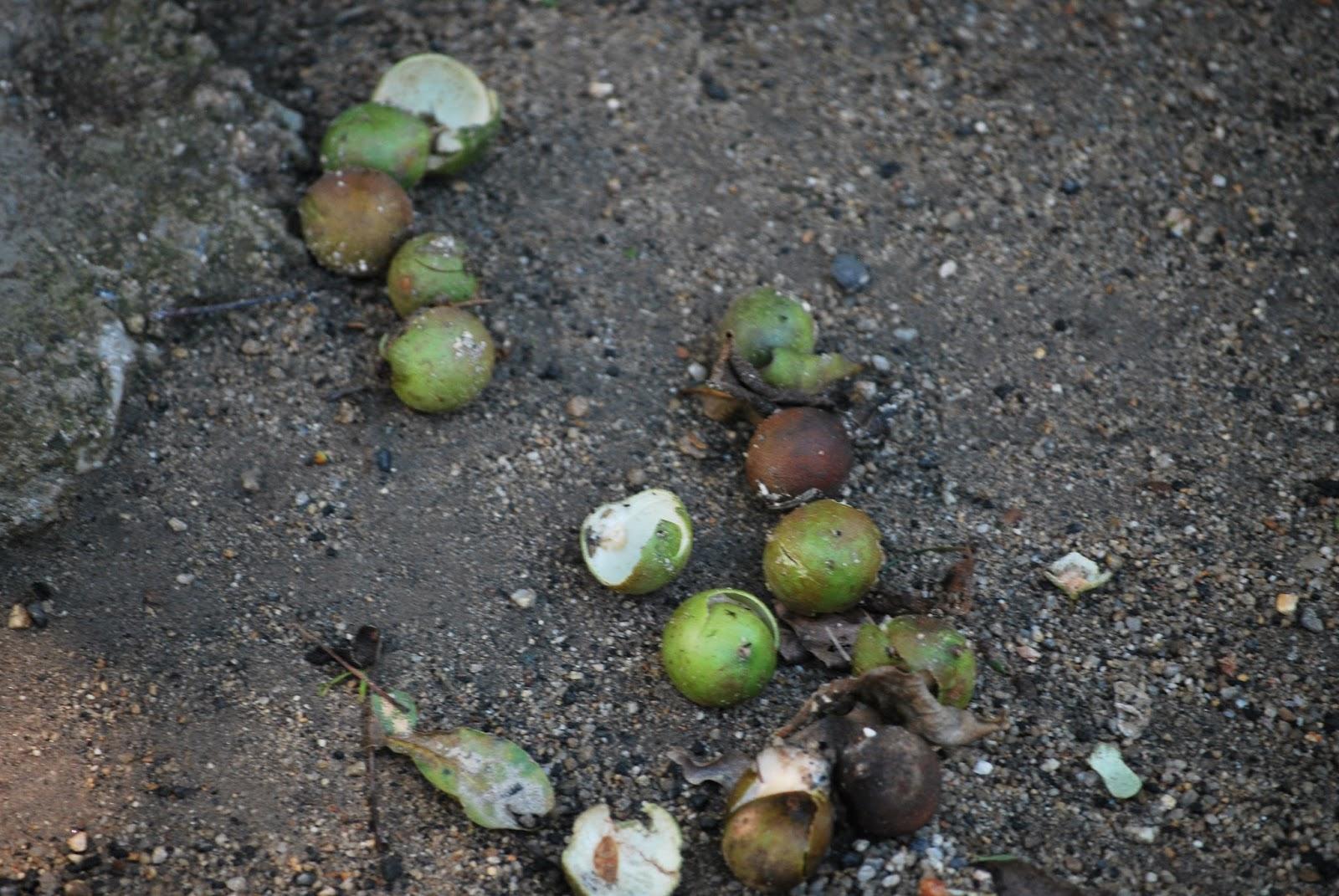 Außergewöhnlich Humboldtina - Venezuela: Honigbeere, Quenepa, Dotterknippe @YC_75