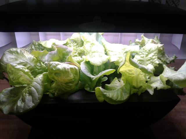Aerogarden salad mix Day 24