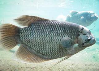 cara budidaya ikan gurame di kolam tanah,cara budidaya ikan gurame di akuarium,cara budidaya ikan gurame di kolam tembok,cara budidaya ikan gurame dari telur,makanan ikan gurame yang bagus,