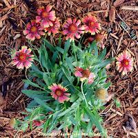 Gaillardia Pulchella Indian Blanket Flower