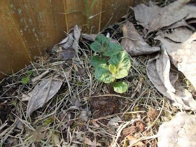 Orto biologico: primi germogli di primavera