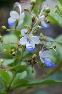 Rotheca myricoides - Clerodendrum ugandense